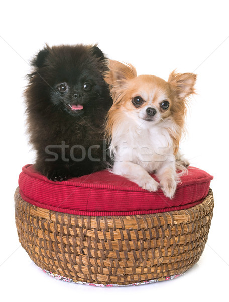 pomeranian spitz and chihuahua Stock photo © cynoclub
