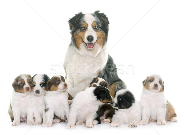 adult and puppies australian shepherd Stock photo © cynoclub