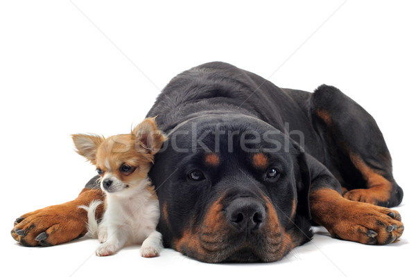 rottweiler and puppy chihuahua Stock photo © cynoclub