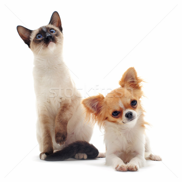 puppy chihuahua and siamese kitten Stock photo © cynoclub