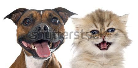 Maine kat puppy rottweiler portret Stockfoto © cynoclub