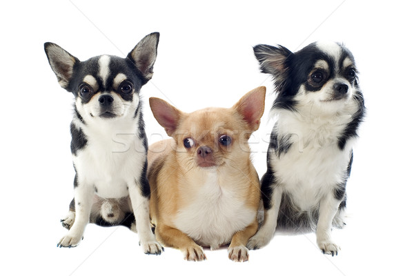 chihuahuas Stock photo © cynoclub