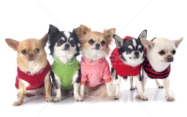 Сток-фото: собака · собаки · группа · белый · ПЭТ · один