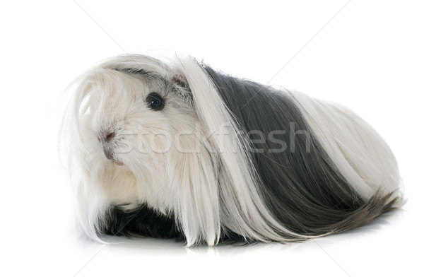 świnka morska portret biały czarny cute białe tło Zdjęcia stock © cynoclub