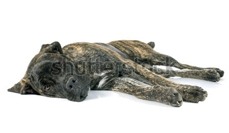 puppy cane corso Stock photo © cynoclub