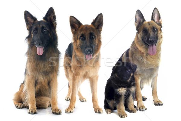 four german shepherds Stock photo © cynoclub