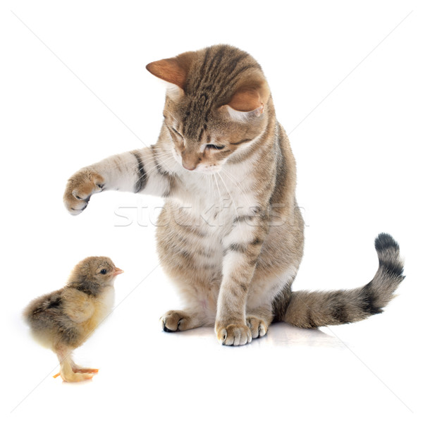tabby cat and chick Stock photo © cynoclub