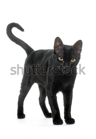 小さな 黒猫 白 猫 ストックフォト © cynoclub
