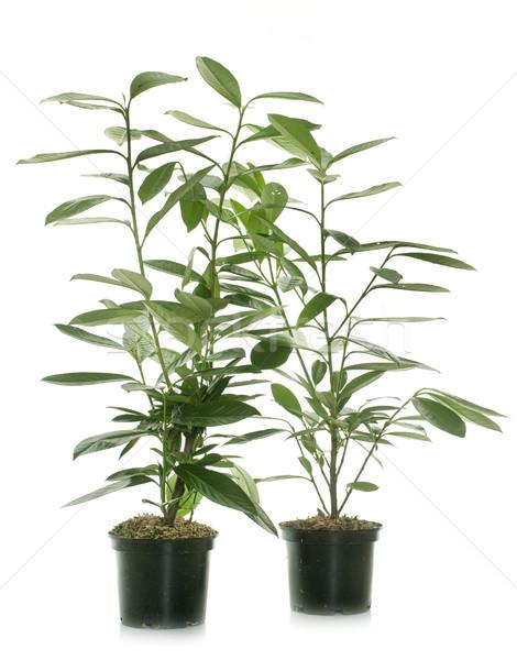 Prunus laurocerasus in studio Stock photo © cynoclub
