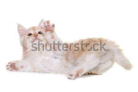 Maine kedi yavrusu beyaz kedi oynama evcil hayvan Stok fotoğraf © cynoclub