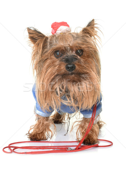 dressed yorkshire terrier Stock photo © cynoclub
