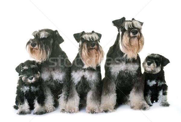 Zdjęcia stock: Miniatura · rodziny · biały · psa · zwierząt