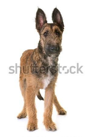 Cucciolo pastore belga giovani animale Foto d'archivio © cynoclub