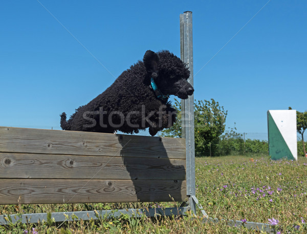 Képzés engedelmesség ugrik kutyakiképzés mező fekete Stock fotó © cynoclub