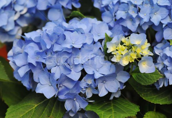 Blue Hydrangea (Hortensia)  Stock photo © cynoclub
