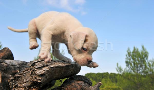 Blanco cachorro boxeador cute pequeño naturaleza Foto stock © cynoclub