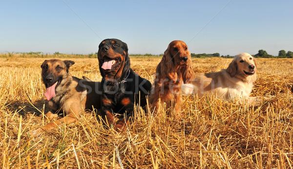 four dogs Stock photo © cynoclub