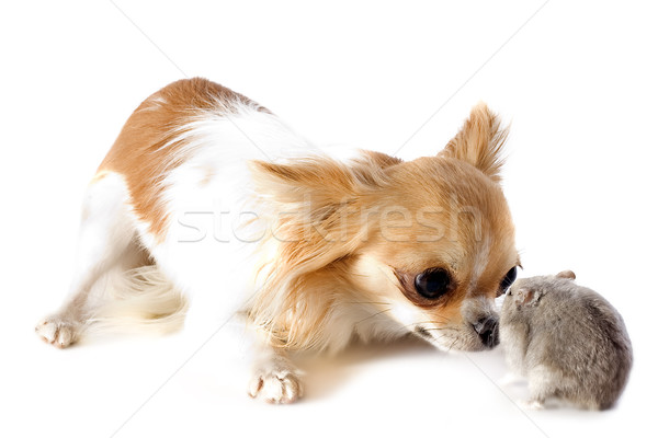 chihuahua and Djungarian hamster Stock photo © cynoclub