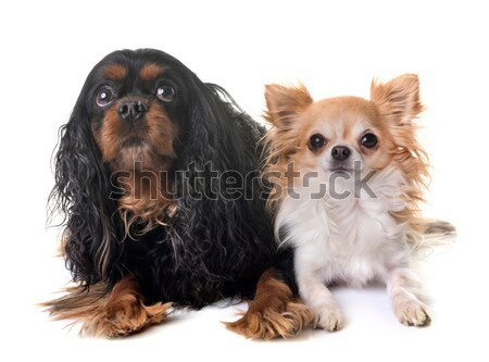 family yorkshire terrier Stock photo © cynoclub