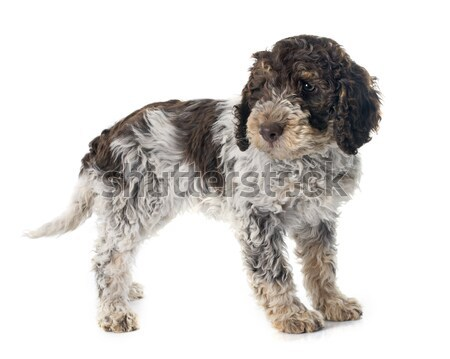 Portuguese Water Dog Stock photo © cynoclub