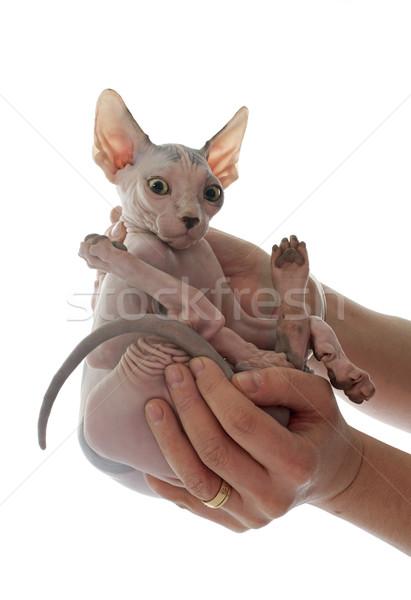 Sin pelo gato blanco mano animales Foto stock © cynoclub