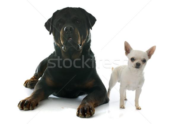 Rottweiler jonge witte studio puppy mannelijke Stockfoto © cynoclub