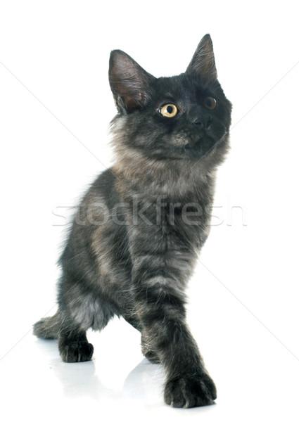 Maine kitten witte kat zwarte dier Stockfoto © cynoclub