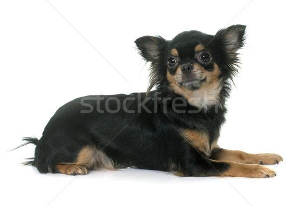 young longhair chihuahua Stock photo © cynoclub