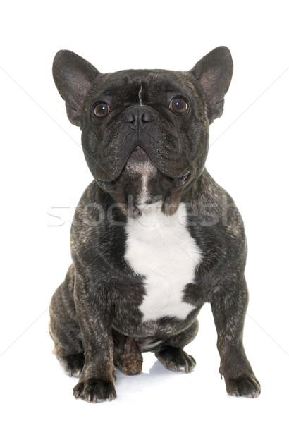 brown french bulldog Stock photo © cynoclub