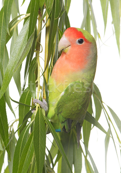 lovebird perching on leaf Stock photo © cynoclub