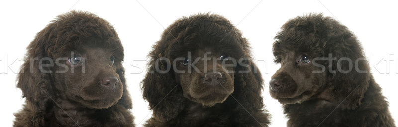 Chiots brun caniche blanche chien portrait Photo stock © cynoclub