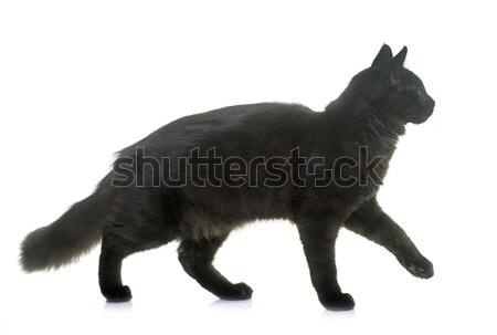Maine gattino bianco cat nero Foto d'archivio © cynoclub