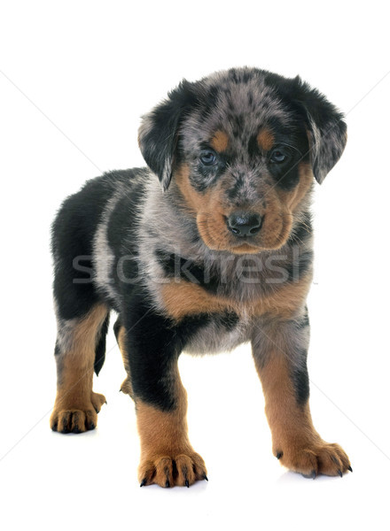 puppy beauceron in studio Stock photo © cynoclub