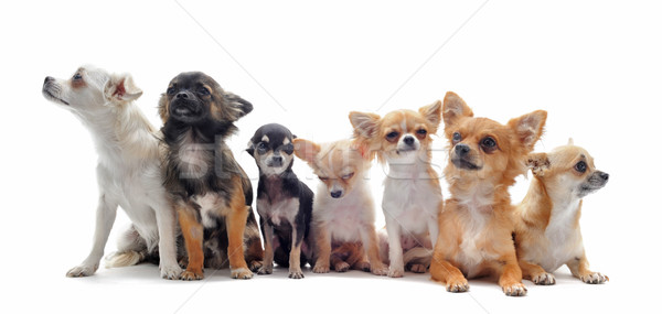 seven chihuahuas Stock photo © cynoclub