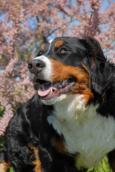 Jóvenes boyero de berna feliz flor perro Foto stock © cynoclub