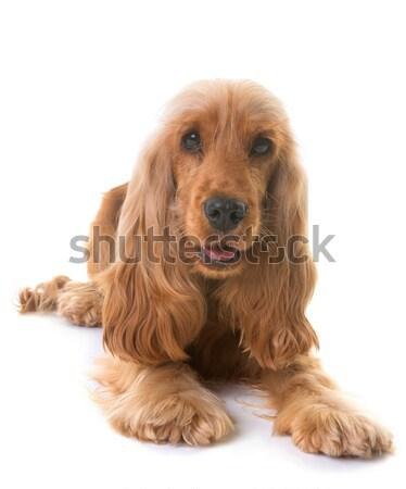 Золотистый ретривер вниз белый собака студию Сток-фото © cynoclub