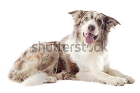 Pastore bianco cane giovani Foto d'archivio © cynoclub