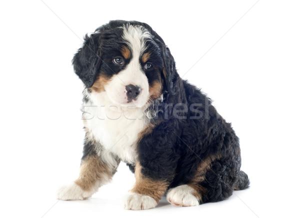 Szczeniak psa portret berneński pies pasterski biały Zdjęcia stock © cynoclub
