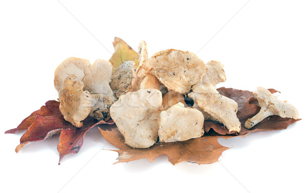 Ouriço cogumelo branco comida estúdio isolado Foto stock © cynoclub