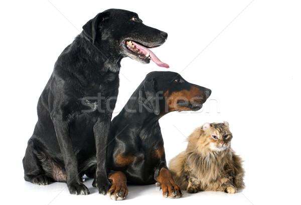 Labrador retriever kot amerykański psa zwierząt Zdjęcia stock © cynoclub