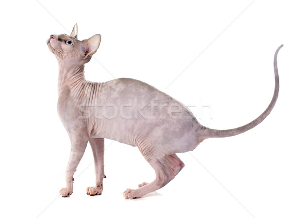Sin pelo gato blanco Foto stock © cynoclub