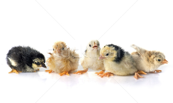 Poussins blanche poulet animaux studio chiches Photo stock © cynoclub