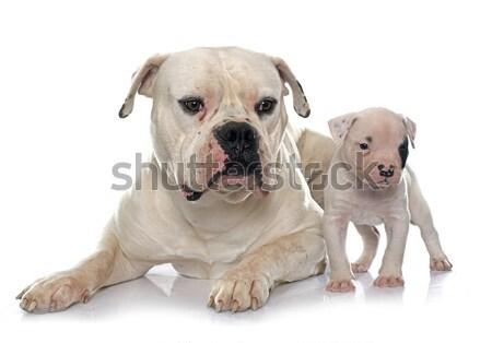 взрослый щенков Американский бульдог белый собака молодые Сток-фото © cynoclub