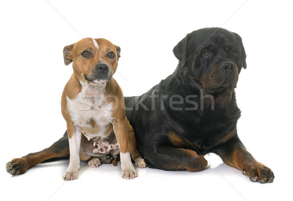 stafforshire bull terrier and rottweiler Stock photo © cynoclub