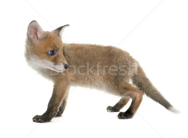 fox cub in studio Stock photo © cynoclub