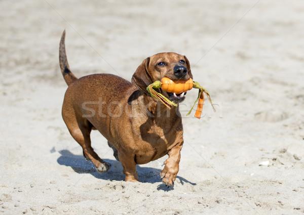 Teckel strand spelen speelgoed hond zee Stockfoto © cynoclub