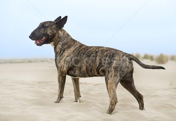 bull terrier on the beach Stock photo © cynoclub