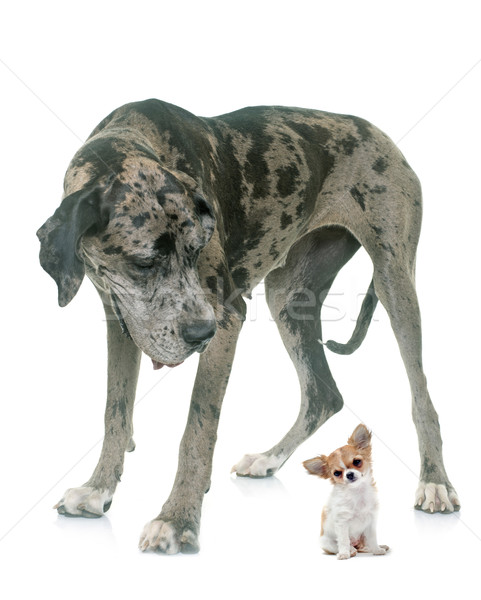 Great Dane and puppy chihuahua in studio Stock photo © cynoclub