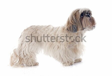 old yorkshire terrier Stock photo © cynoclub