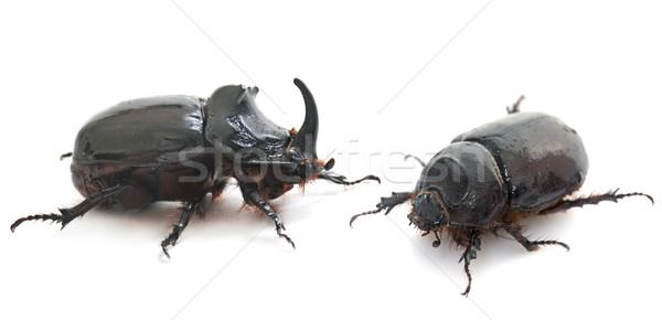 couple European rhinoceros beetle Stock photo © cynoclub